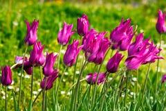 Tulipanes púrpuras mojados Imágenes de archivo libres de regalías