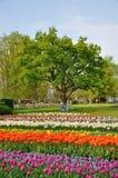 Tulipanes púrpuras, rojos, blancos y anaranjados con un árbol Imagen de archivo libre de regalías