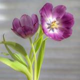 Tulipanes púrpuras vibrantes Imagenes de archivo