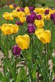 Tulipanes púrpuras y amarillos Imagen de archivo libre de regalías