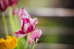 Tulipanes púrpuras y amarillos hermosos contra el sol r fotografía de archivo libre de regalías