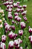 Tulipanes púrpuras y blancos Imagen de archivo libre de regalías