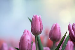 Tulipanes púrpuras y rosados Fotografía de archivo