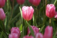 Tulipanes púrpuras y rosados Imagen de archivo libre de regalías