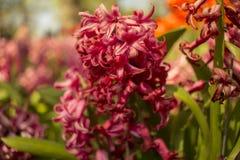 Tulipanes p?rpuras foto de archivo libre de regalías