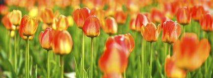 Tulipanes panorámicos Fotografía de archivo