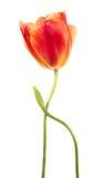 Tulipanes pasados Fotografía de archivo