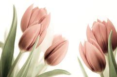 Tulipanes pasados de moda fotos de archivo libres de regalías