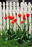 Tulipanes por la cerca Imágenes de archivo libres de regalías