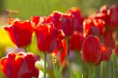 Tulipanes por mañana Imagenes de archivo