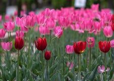Tulipanes por todas partes fotografía de archivo