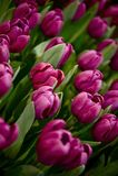 Tulipanes púrpuras Foto de archivo libre de regalías