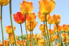 Tulipanes que brillan intensamente fotografía de archivo