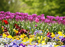 Tulipanes que confinan el prado de la viola Imagen de archivo