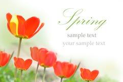 Tulipanes de la primavera aislados en blanco Imagenes de archivo
