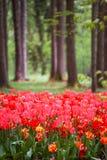 Tulipanes que florecen en bosque imagenes de archivo