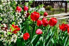 Tulipanes que florecen en cereza Imagenes de archivo