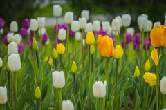 Tulipanes que florecen en el macizo de flores Imagenes de archivo