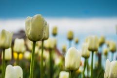 Tulipanes que florecen en el macizo de flores Foto de archivo libre de regalías