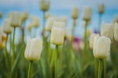 Tulipanes que florecen en el macizo de flores Imagen de archivo libre de regalías