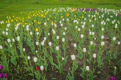 Tulipanes que florecen en el macizo de flores Imágenes de archivo libres de regalías