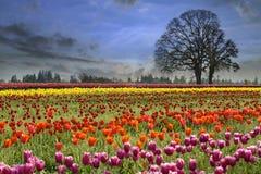 Tulipanes que florecen en estación de primavera Fotos de archivo