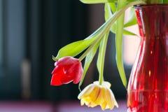 Tulipanes que se marchitan en luz del sol Imágenes de archivo libres de regalías