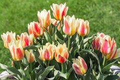 Tulipanes rayados rojos y blancos en el macizo de flores Imágenes de archivo libres de regalías
