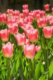 tulipanes Rojizo-rosados en resorte fotos de archivo