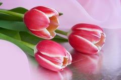 tulipanes Rojo-blancos Imagen de archivo libre de regalías