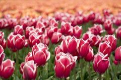 tulipanes Rojo-blancos en un campo Imágenes de archivo libres de regalías