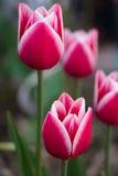 Tulipanes rojo púrpura y blancos magníficos Fotografía de archivo