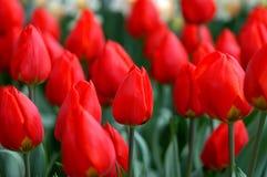 Tulipanes rojos Fotos de archivo