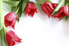Tulipanes rojos imagen de archivo libre de regalías