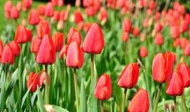 Tulipanes rojos. imagen de archivo libre de regalías