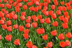 Tulipanes rojos Imagenes de archivo