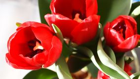 Tulipanes rojos Fotografía de archivo libre de regalías