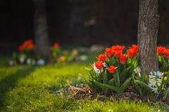Tulipanes rojos Fotos de archivo libres de regalías