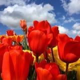 Tulipanes rojos Foto de archivo