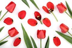 Tulipanes rojos aislados en el fondo blanco Visión superior Modelo plano de la endecha Imagen de archivo