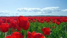 Tulipanes rojos al infinito Foto de archivo libre de regalías