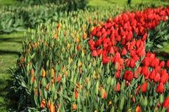 Tulipanes rojos al lado de los tulipanes amarillo-naranja listos para florecer Imagen de archivo