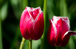 Tulipanes rojos alineados en blanco Imagen de archivo