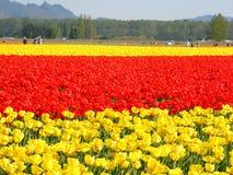 Tulipanes rojos, amarillos Imagenes de archivo