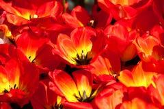 Tulipanes rojos amarillos Fotografía de archivo