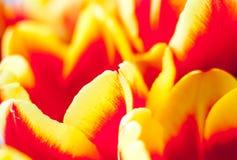 Tulipanes rojos amarillos de la primavera Imagen de archivo libre de regalías