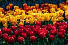 Tulipanes rojos, amarillos y anaranjados hermosos en tiempo soleado en Holanda fotos de archivo libres de regalías