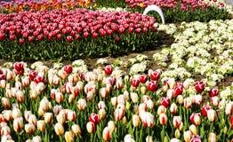 Tulipanes rojos, amarillos y coloridos en parque Foto de archivo libre de regalías