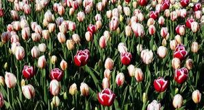 Tulipanes rojos, amarillos y coloridos en parque Imagenes de archivo