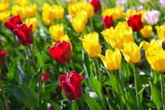 Tulipanes rojos, amarillos y rosados en el parque con luz del sol de la puesta del sol Imagen de archivo libre de regalías